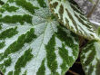 Begonia Imperialis Lemaire